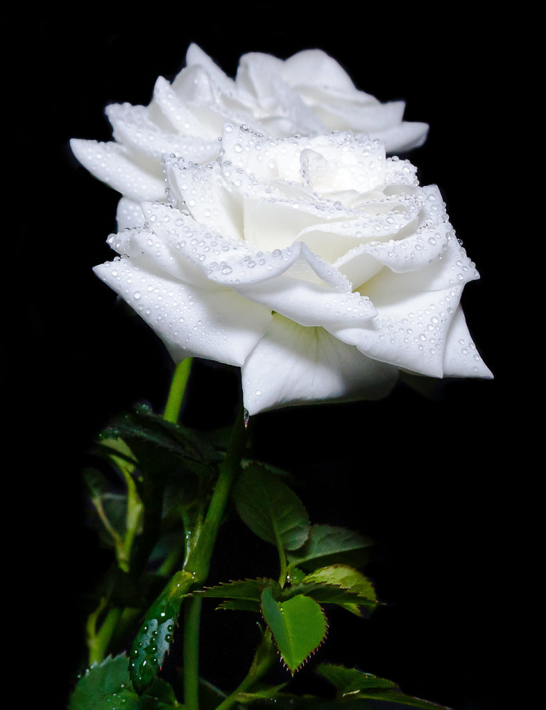 Two White Rose